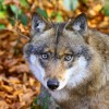Wolf_9225-43c