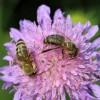 71-Honigbiene1-c