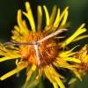 5531 Oldaematophorus constanti Braune Alant-Federmotte-c