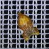 4374 Acleris holmiana-c