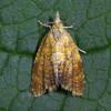 4522 Pseudargyrotoza conwangana-c