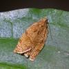 4556 Archips betulana (w)-c