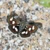 6478-Eurrhypis pollinalis-Ginster-Fleckenzünsler-c