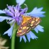 6605-Pyrausta purpuralis- Purpurroter Z.-c