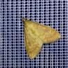 6649-Ostrinia nubilalis-Maiszünsler-c