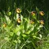 Cypripedium calceolus2-cc