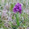 Orchis morio1-cc