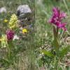 Orchis morio2-cc