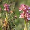 Orchis papilionacea-cc