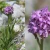 Orchis tridentata-cc