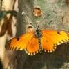 0150-Orange Acraea-Acraea serena-c