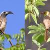 0440-Grautoko+Perlenbartvogel-c