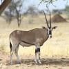 0600-Ostafrikanische Oryx-c