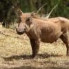 0610-Warzenschwein-c