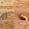 0630-Schlichtborstenhörnchen-c