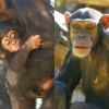 1230-Schimpanse-c